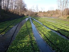 Wasabi farm