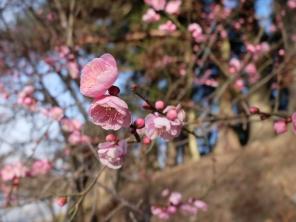 Yes! Genuine blossom, already. Prunus mume, I think.
