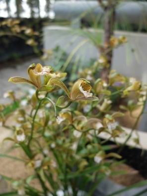 Cymbidium erythraceus 'Rikyu'