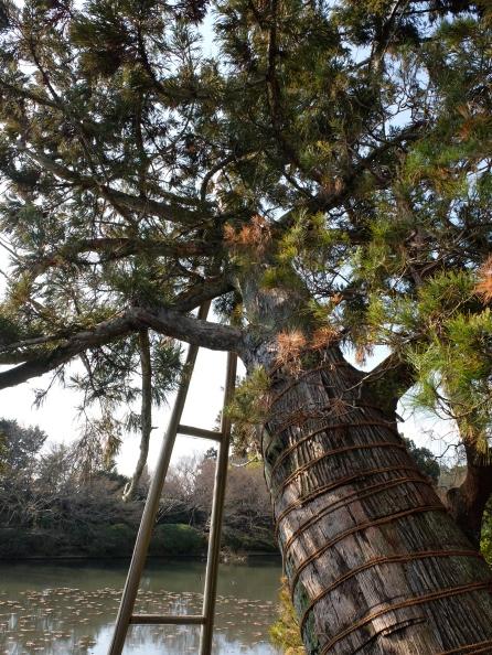 Ryoanji: good tree