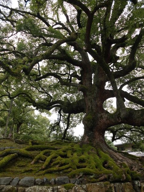 Ancient camphor trees (Cinnamomum camphora) at Shoren-in
