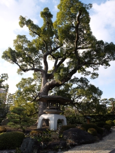 Camphor tree & very large doro (lantern)