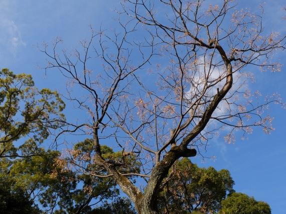 Japanese Bead Tree: Melia azedarach