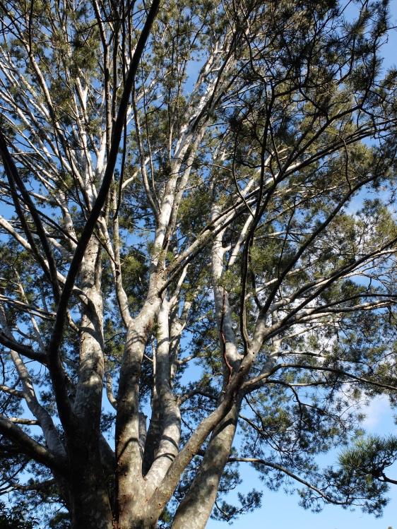 Chinese White Bark Pine: Pinus bungeana. A stunning tree.