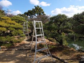 Pine needle pruning time... Black pine (Pinus thunbergii)