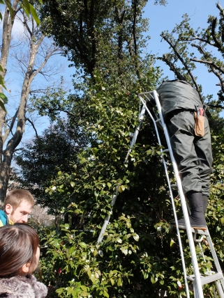 Camelia pruning: start with a big blobby bush