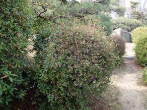 Azalea pruning time...