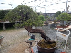 The 800 year old bonsai after cleaning