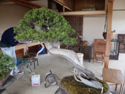 The 800 year old bonsai part way through treatment. The smelly orange stuff dries white and looks great.