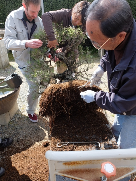 Repotting the black pine: remove roots