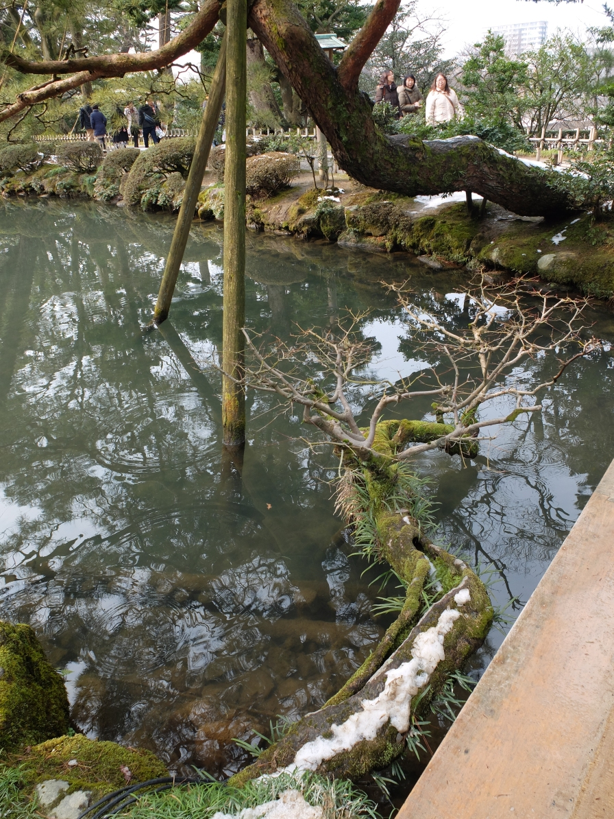 This acer was growing horizontally out of the bank- but not quite touching the water!