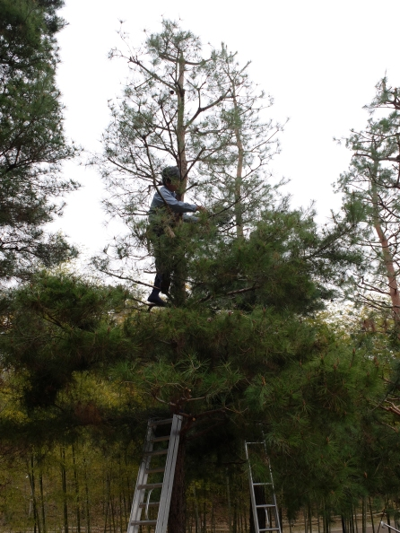 Red pine pruning demonstration: before (below) and after (above)!