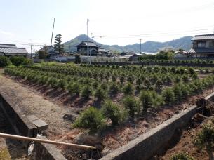 Fields of Bonsai in Kagawa bonsai growing area