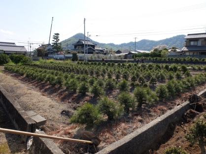 Fields of Bonsai in Kagawa bonsai growing area
