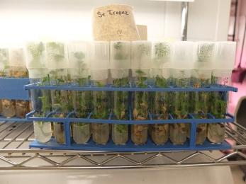 Chrysanthemums in tubes