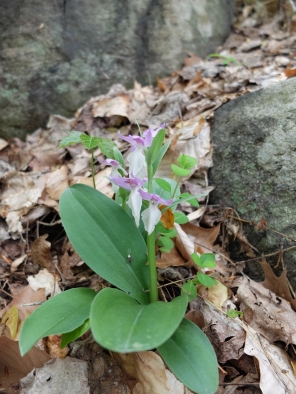 We also spotted some Orchis spectabilis