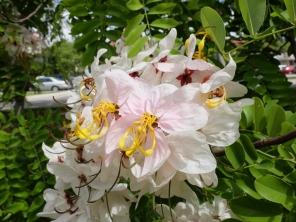 Cassia sp