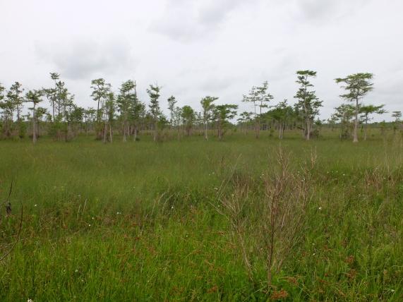 Prairie & pinelands. The prairie had been burnt 3 months earlier