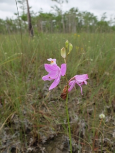 A lovely orchid. I think it's the rose pogonia: Pogonia ophioglossoides