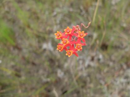 Milkweed, food of the Monarch Butterflies. Asclepias lanceolata