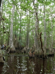 Such huge cypress knees