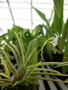 Neofinitia falcata 'Higashidemiyako'