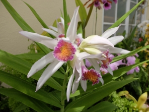 Thunia alba- my new favourite orchid!
