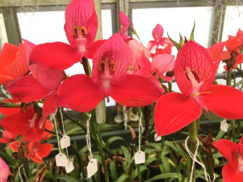 Lots of Disa post pollination- with little white tags to say what the hybrid was