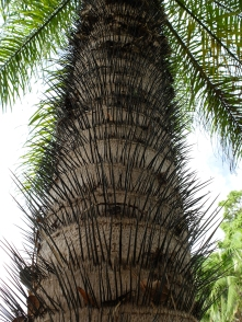 Palms are VISCIOUS! Acromea aculata