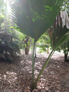 This is a Coco de mer growing OUTSIDE