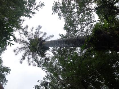Huge flowering palm