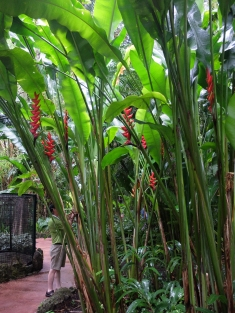 Enormous Heliconias