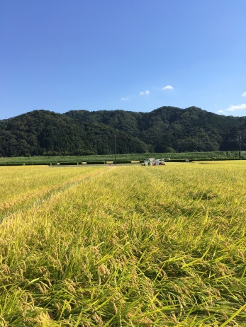 It's rice harvest time